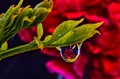 Carnation Water Drop