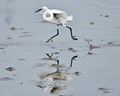 ....the GREAT EGRET'S RUNNING....