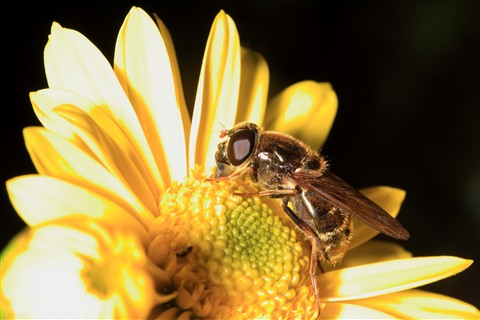 Syrphidae_on_yellow_flower