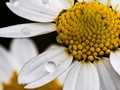 Chamomile flower up close