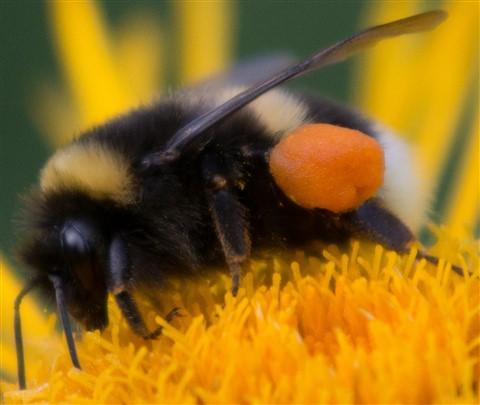 F01_4967_Bee_pollen_sack_1