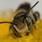 Bee on Daisy-1365