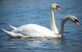 two_head_swan