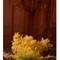 Canyon Cottonwoods