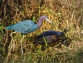 A heron and turtle