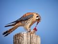 North America's littlest falcon, the American Kestrel