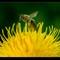 Honeybee DSC_75751