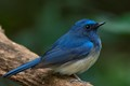 A Male Hainan Blue Flycatcher