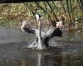 Greatblue heron Bathing