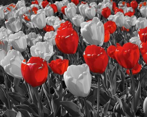 Vampire Tulips