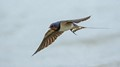 Early Swallow
