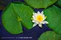 Fragrant White Lotus