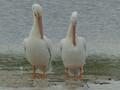 White Pelican Pair- Sanibel Island