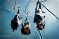 Giant Bats
