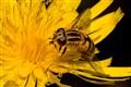 Hoverfly on Hawkweed
