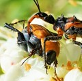 Tragedy in the insect world; assassin bug attack