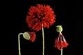 Peony Poppy, Papaver paeoniflorum