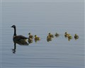 Mother Goose and Family In The Lake