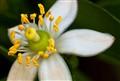 Kaffir Lime Blossom