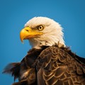 One of the many beautiful eagles in Alaska!