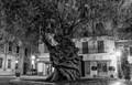 800 Year Old Olive Tree, Palma, Mallorca.