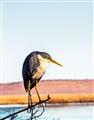 Pied Heron; Marlgu Billabong