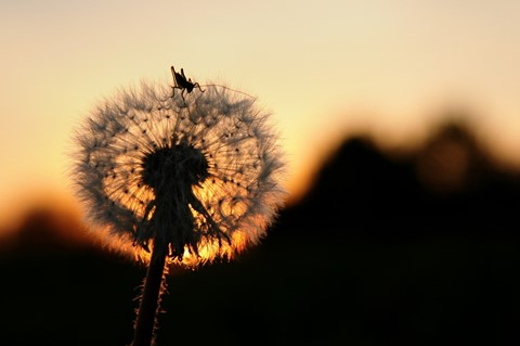Sunset_Dandelion_Dpreview