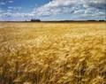 Grain...August Bronze