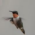 A very late season Ruby Throat Hummingbird