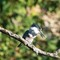 Belted Kingfisher    09 28 2015   005