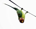 The plum-headed parakeet (Psittacula cyanocephala) is a parakeet endemic to the Indian Subcontinent. The male has a red head which shades to purple-blue on the back of the crown, nape and cheeks while the female has blueish-gray head. - Wikipedia