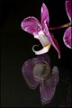 Orchid reflected...