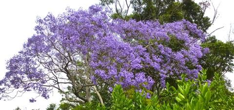 Eucalypt, Jacaranda, Lime