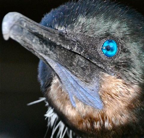 cormorant head