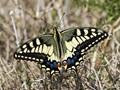 Maltese Swallowtail Butterfly  (Papilio machaon) Eller 1936