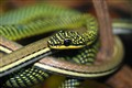 Garter Snakes.