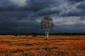 solitary birch