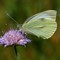 Large White on Scabious