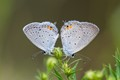 Eastern Tailed-blues - male left, female right