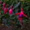 flower_Fuschia_1r