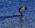 Cormorant...Catfish