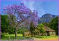 Kirstenbosch Jakaranda