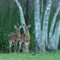 yard-deer-5891-1