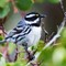 Black-throated Gray Warbler-38