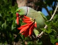 The Ring-necked Parakeet