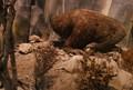 a moa incubates its egg
