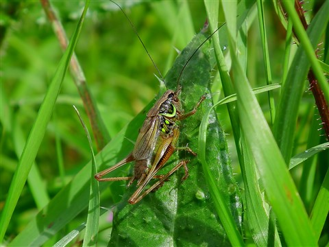 rousels bush cricket (8) (Custom)