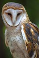 Barn Owl Mecklenburg County North Carolina
