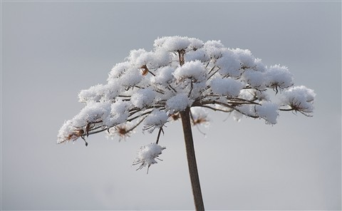 Umbrella of Snow