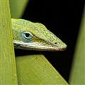 Peek-a-boo Lizard